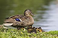 Germany, Bavaria, Female mallard duck with ducklings in grass - FOF004934