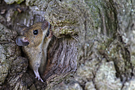 Germany, Bavaria, Yellow-necked Mouse on rock, close up - FOF004952