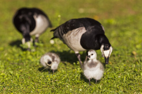 Germany, Bavaria, Barnacle gooses with chicks on grass - FOF004964