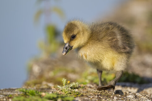 Germany, Bavaria, Barnacle goose chick on grass - FOF004978