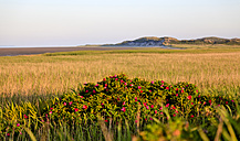 Germany, View of landscape with Japanese rose at Sylt island - ATA000008