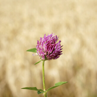 Germany, Clover flower in front of wheat field - HOHF000070