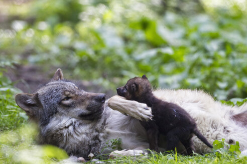 Germany, Bavaria, Gray wolf with her pup - FOF005000