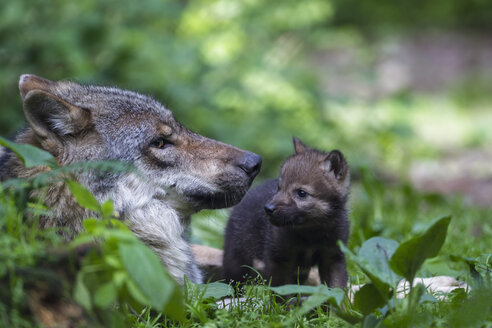 Germany, Bavaria, Gray wolf with her pup - FOF005004