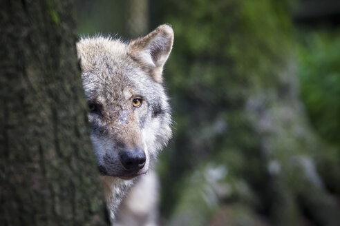 Germany, Bavaria, Gray wolf in forest - FOF005016