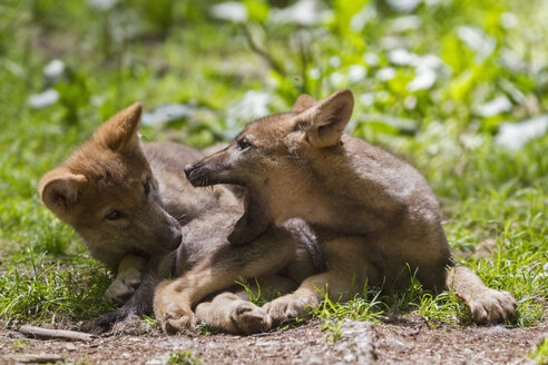 Germany, Bavaria, Gray wolf pups are playing - FOF005021