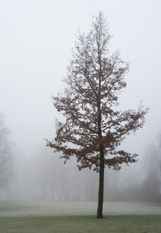Austria, View of trees in morning fog at Mondsee - WWF002772