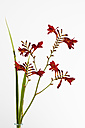 Montbretia flower against white background, close up - CSF017778
