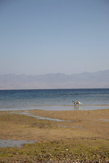 Egypt, Dog at beach - TK000090