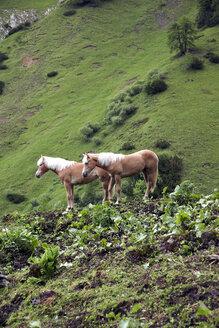 Austria, Horses in alps - TK000084