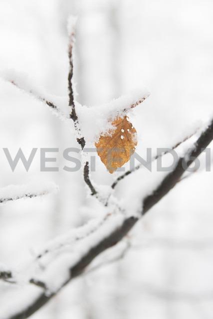 Germany, North Rhine Westphalia, Single leaf on branch of beech tree with snow near Winterberg - HSKF000002 - Heike Skamper/Westend61