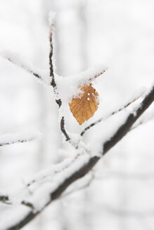 Germany, North Rhine Westphalia, Single leaf on branch of beech tree with snow near Winterberg - HSKF000002