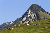 Austria, Vorarlberg, Cows grazing grass near Bizau - SIE003538
