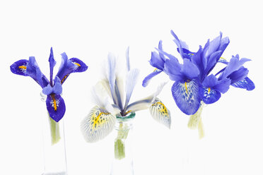 Dwarf iris flower in vase on white background - CSF018039