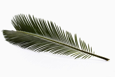 Sago palm on white background, close up - CSF018042