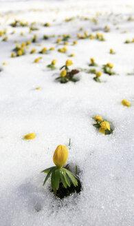 Germany, Winter aconite in snow - JTF000340
