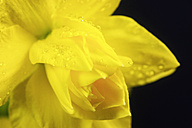 Daffodil flowers with waterdrops against blue background - JT000348