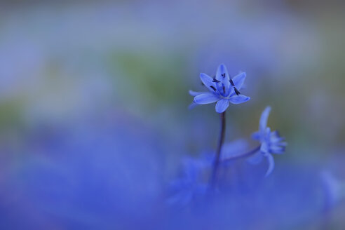 Germany, Baden Wuerttemberg, Scilla, close up - BST000032