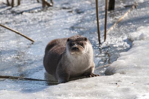 Germany, Brandenburg, European Otter at frozen lake - CBF000018