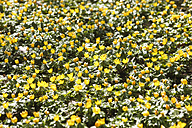 Germany, Winter aconite, close up - JTF000364