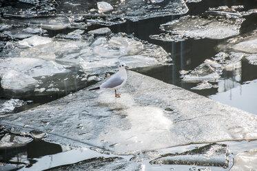 Germany, Berlin, Seagull on frozen ice - FBF000033