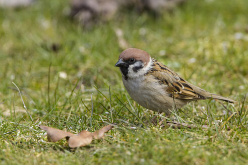 Germany, Hesse, Tree sparrow perching on grass - SR000010
