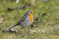 Germany, Hesse, Robin perching on grass - SR000015