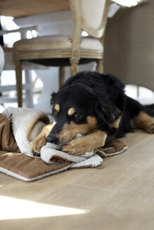 Germany, Hybrid dog playing with blanket - TKF000122