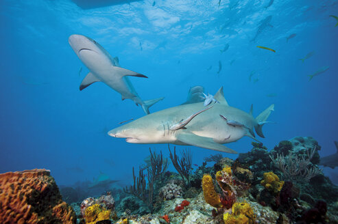 Bahamas, Lemon and caribbean reef sharks at Bahamas bank - GN001255