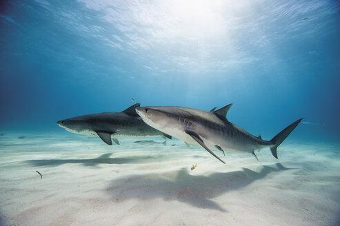 Bahamas, Tiger sharks at Bahama Bank - GNF001258
