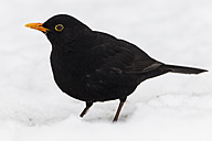 Germany, Hesse, Blackbird perching on snow - SR000033