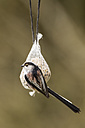 Germany, Hesse, Long-tailed Tit on bird feeder - SRF000050