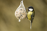 Germany, Hesse, Great tit on bird feeder - SR000042
