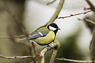 Germany, Hesse, Great tit perching on branch - SR000044