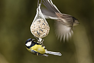 Germany, Hesse, Great tit and Long-tailed Tit on bird feeder - SRF000053