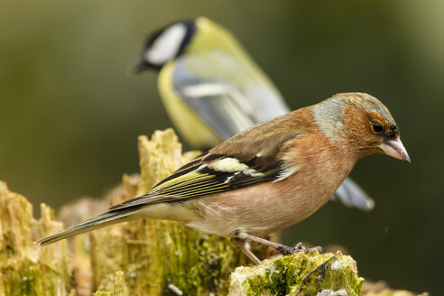 Germany, Hesse, Chaffinch perching on tree trunk - SRF000070