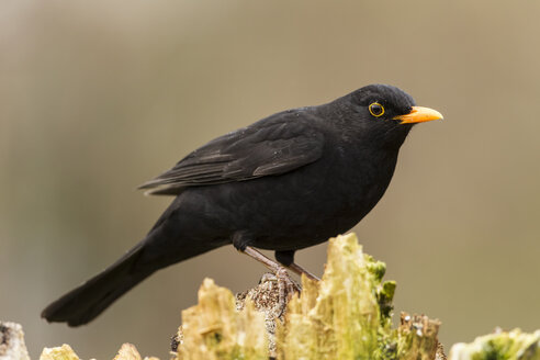 Germany, Hesse, Blackbird perching on tree - SRF000058