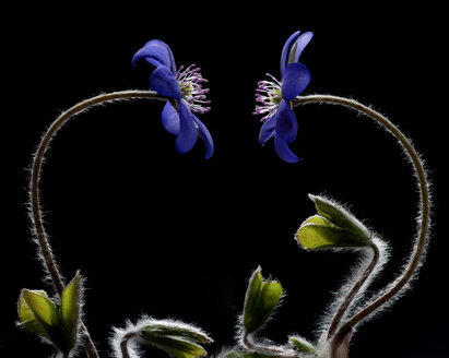 Austria, Two liverwort flower against black background - CW000040
