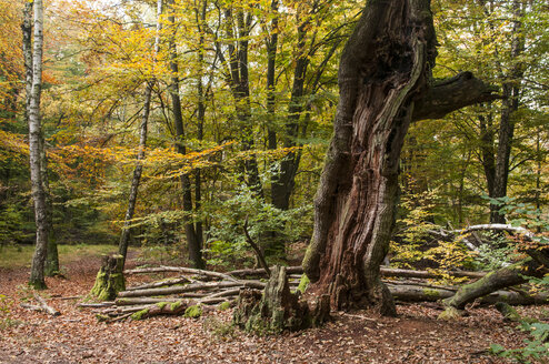Germany, Hesse, Decayed beech tree in autumnal Sababurg forest - CB000050