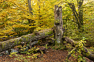 Germany, Hesse, Beech tree in autumn at Sababurg forest - CB000045