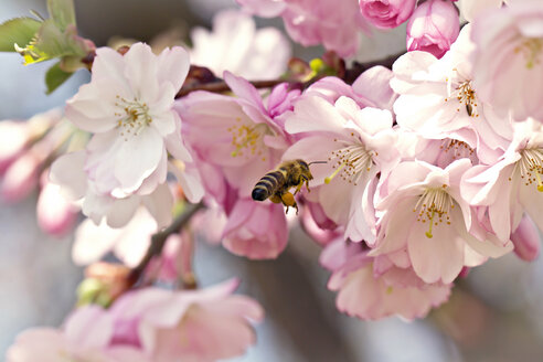 Germany, Bavaria, Bee on cherry blossom, close up - SARF000018