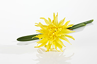 Yellow daffodil flowers on white background, close up - CSF018928