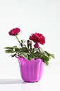 Potted plant of red buttercup flowers on white background, close up - CSF018912