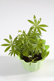 Potted plant of woodruff on white background, close up - CSF019048