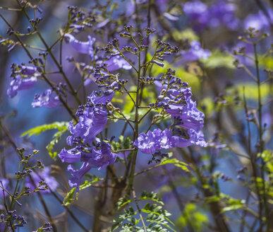 Spain, Las Palmas, Jacaranda mimosifolia,close up - MABF000032