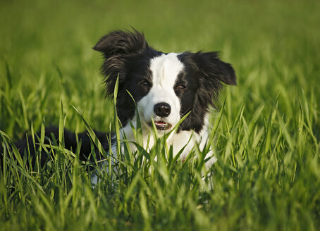 Germany, Baden Wuerttemberg, Border Collie dog on grass - SLF000006