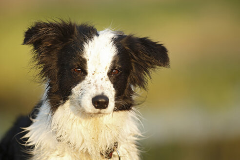 Germany, Baden Wuerttemberg, Border Collie dog looking away - SLF000003