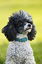 Germany, Baden Wuerttemberg, Poodle dog, close up - SLF000083