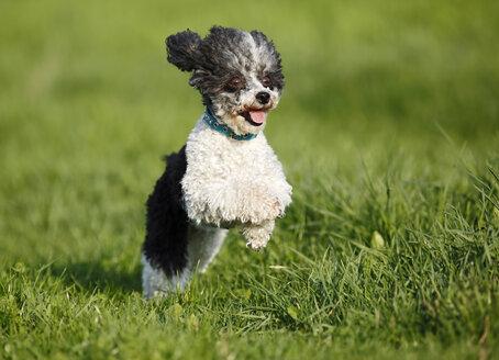 Germany, Baden Wuerttemberg, Dog running in meadow - SLF000066