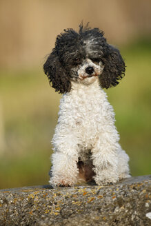 Germany, Baden Wuerttemberg, Poodle dog sitting on rock - SLF000062